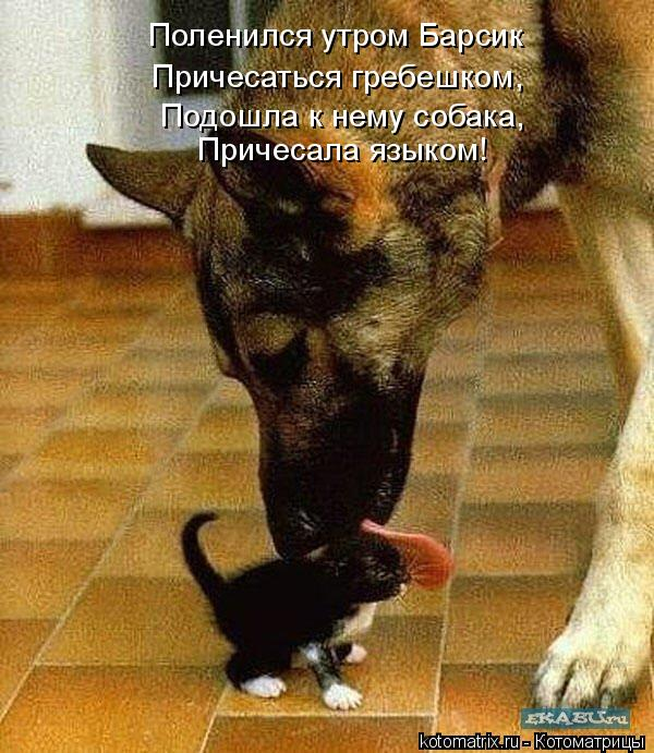 Котоматрица: Поленился утром Барсик  Причесаться гребешком,  Подошла к нему собака,  Причесала языком!