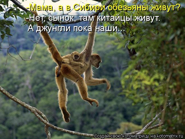 Котоматрица: -Мама, а в Сибири обезьяны живут? -Нет, сынок, там китайцы живут. А джунгли пока наши...