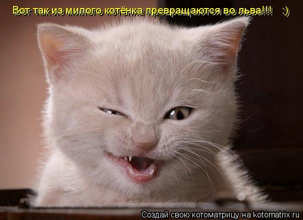 Котоматрица: Вот так из милого котёнка превращаются во льва!!!   :) Вот так из милого котёнка превращаются во льва!!!   :)
