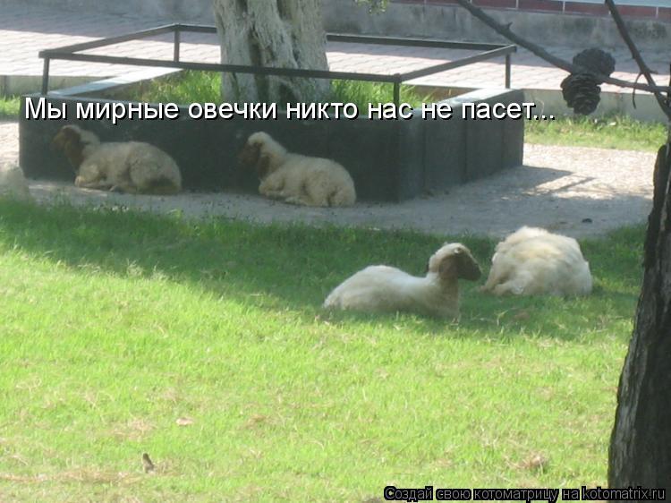 Котоматрица: Мы мирные овечки никто нас не пасет...