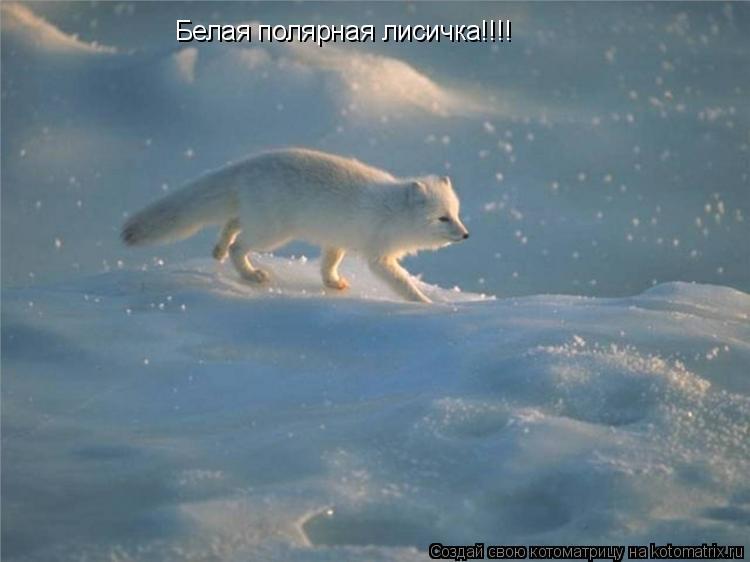 Котоматрица: Белая полярная лисичка!!!!