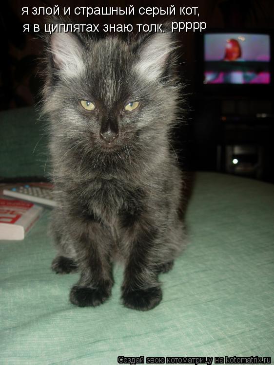 Котоматрица: я злой и страшный серый кот, я в циплятах знаю толк. ррррр