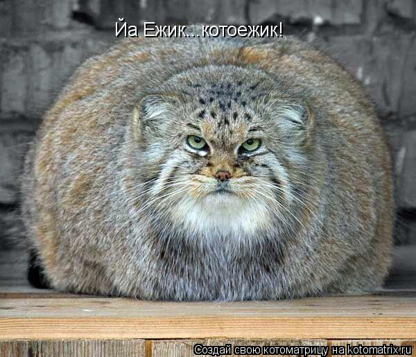 Котоматрица: Йа Ежик...ко Йа Ежик...котоежик!