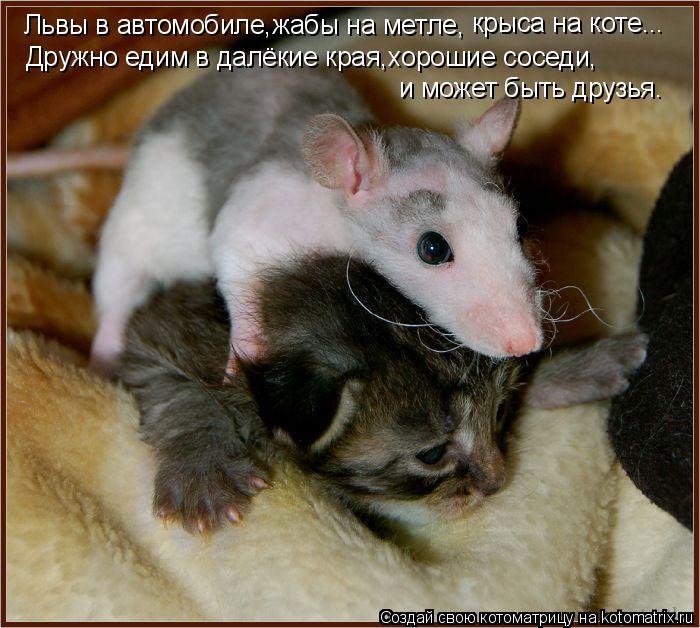 Котоматрица: Львы в автомобиле,жабы на метле, крыса на коте... Дружно едим в далёкие края,хорошие соседи, и может быть друзья.