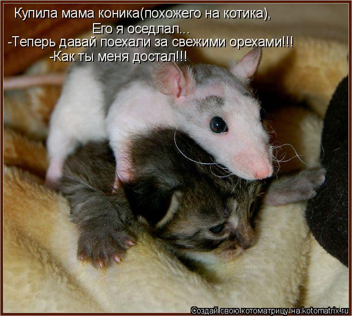 Котоматрица: Купила мама коника(похожего на котика), Его я оседлал... -Теперь давай поехали за свежими орехами!!! -Как ты меня достал!!!