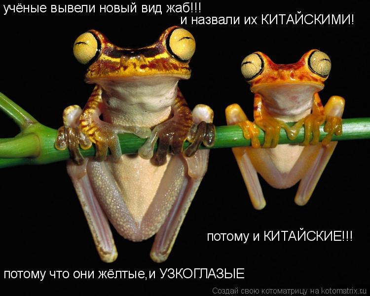 Котоматрица: учёные вывели новый вид жаб!!! и назвали их КИТАЙСКИМИ! потому что они жёлтые,и УЗКОГЛАЗЫЕ потому и КИТАЙСКИЕ!!!