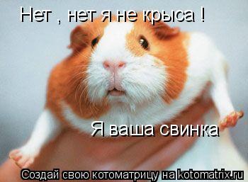 Котоматрица: Нет , нет я не крыса !   Я ваша свинка