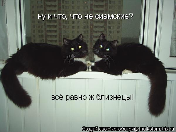 Котоматрица: ну и что, что не сиамские? всё равно ж близнецы!