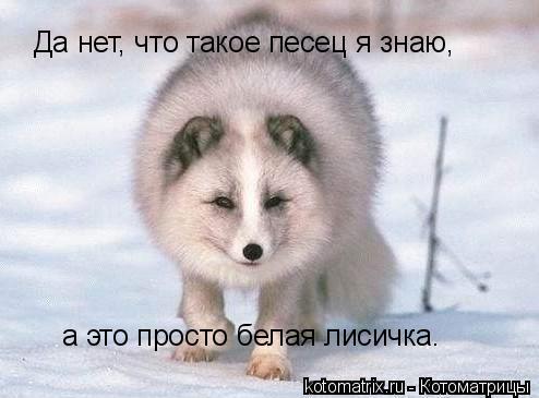 Котоматрица: Да нет, что такое песец я знаю, а это просто белая лисичка.