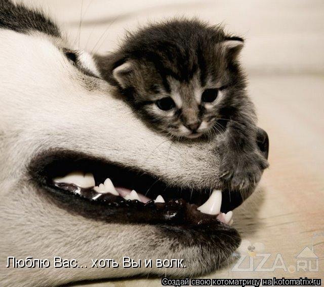 Котоматрица: Люблю Вас... хоть Вы и волк.