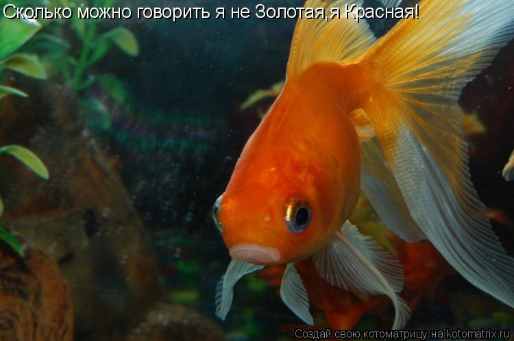 Котоматрица: Сколько можно говорить я не Золотая,я Красная!