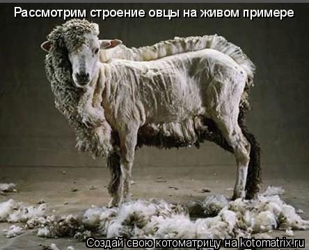 Котоматрица: Рассмотрим строение овцы на живом примере