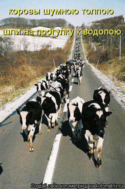 Котоматрица: коровы шумною толпою шли на прогулку к водопою.