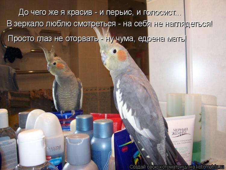 Котоматрица: До чего же я красив - и перьис, и голосист... В зеркало люблю смотреться - на себя не наглядеться!  Просто глаз не оторвать - ну чума, едрена мать