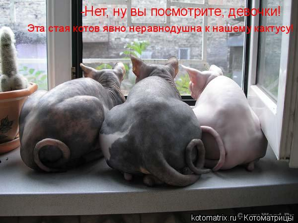 Котоматрица: -Нет, ну вы посмотрите, девочки!  Эта стая котов явно неравнодушна к нашему кактусу!