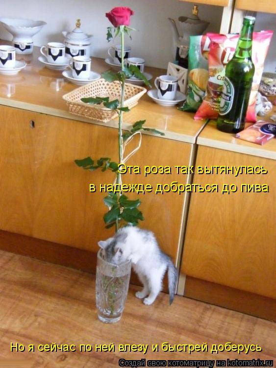 Котоматрица: Эта роза так вытянулась  в надежде добраться до пива Но я сейчас по ней влезу и быстрей доберусь