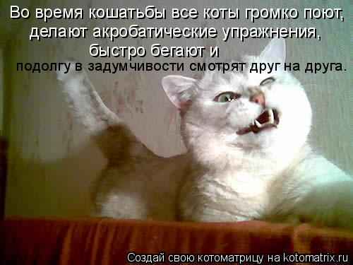 Котоматрица: Во время кошатьбы все коты громко поют,  делают акробатические упражнения,  быстро бегают и  подолгу в задумчивости смотрят друг на друга.