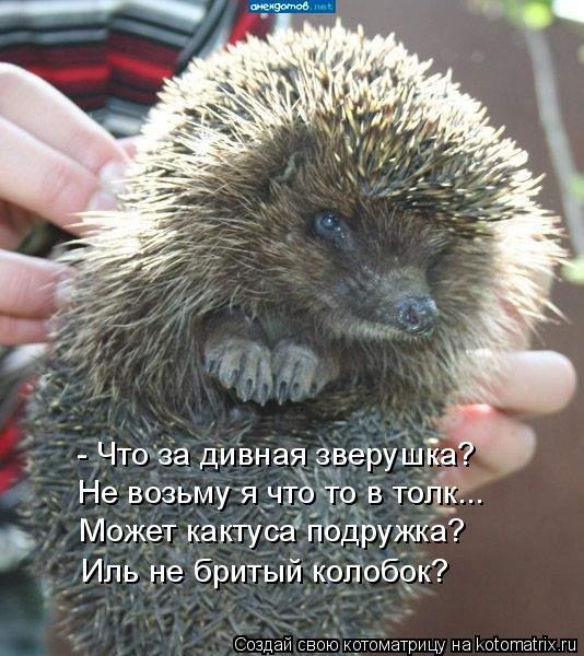 Котоматрица: - Что за дивная зверушка? Не возьму я что то в толк... Может кактуса подружка? Иль не бритый колобок?
