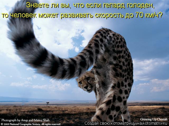 Котоматрица: Знаете ли вы, что если гепард голоден,  то человек может развивать скорость до 70 км/ч?