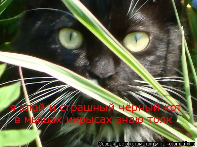 Котоматрица: я злой и страшный чёрный кот в мышах икрысах знаю толк
