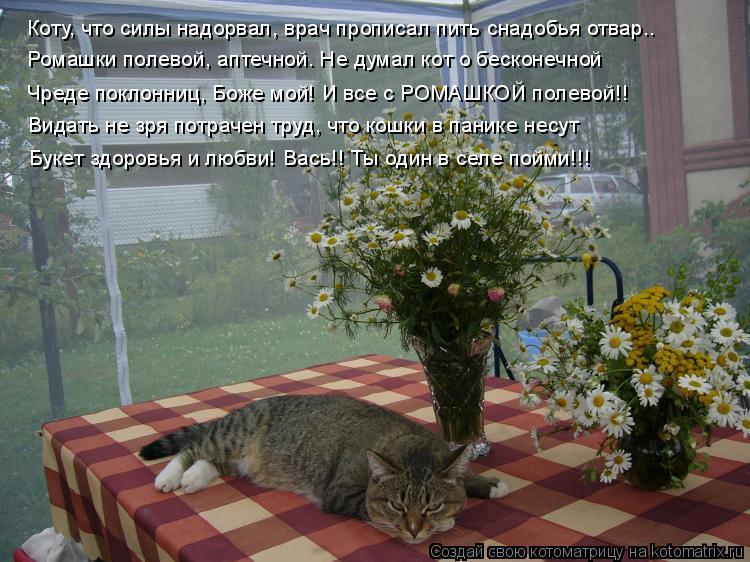 Котоматрица: Коту, что силы надорвал, врач прописал пить снадобья отвар.. Ромашки полевой, аптечной. Не думал кот о бесконечной  Чреде поклонниц, Боже мой!