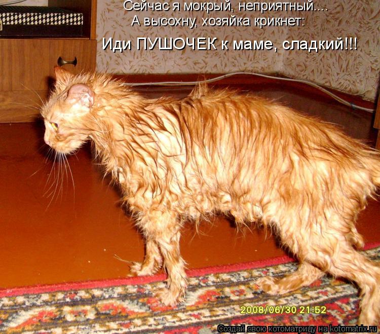 Котоматрица: Сейчас я мокрый, неприятный.... А высохну, хозяйка крикнет: Иди ПУШОЧЕК к маме, сладкий!!!