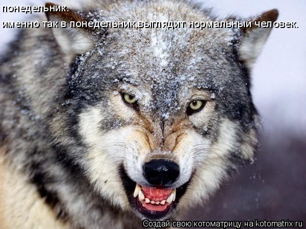 Волки созданы для охоты самой природой.  Зимой волк на