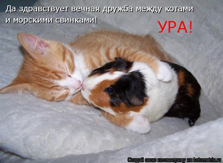 Котоматрица: Да здравствует вечная дружба между котами и морскими свинками! УРА!