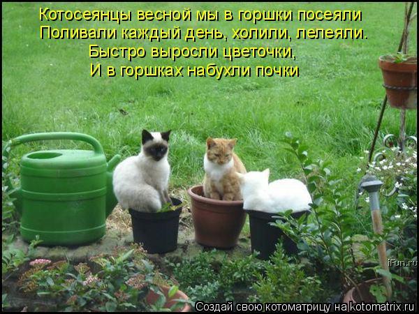 Котоматрица: Котосеянцы весной мы в горшки посеяли Поливали каждый день, холили, лелеяли. И в горшках набухли почки Быстро выросли цветочки,