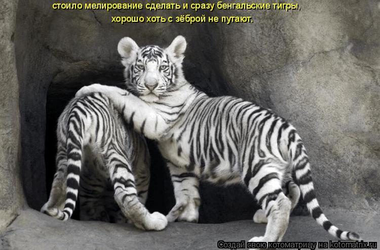 Котоматрица: стоило мелирование сделать и сразу бенгальские тигры,                                                                             хорошо хоть с зёброй