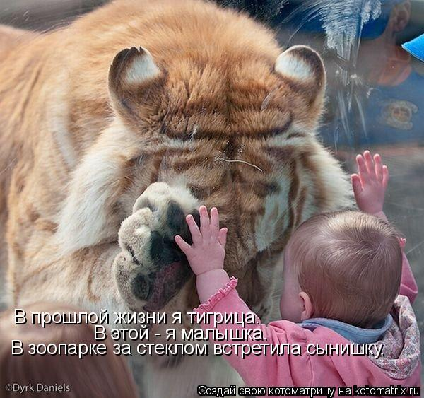 Котоматрица: В прошлой жизни я тигрица.  В этой - я малышка. В зоопарке за стеклом встретила сынишку.