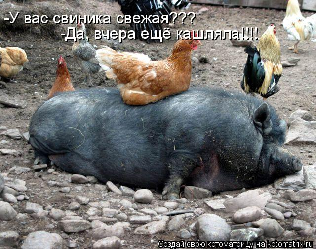 Котоматрица: -У вас свиника свежая??? -Да, вчера ещё кашляла!!!!