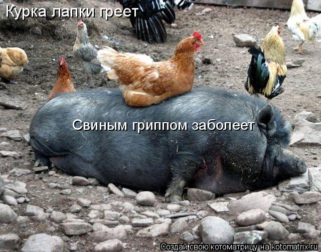 Котоматрица: Курка лапки греет Свиным гриппом заболеет
