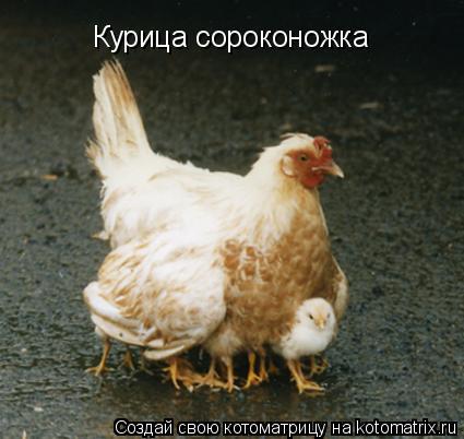 Котоматрица: Курица сороконожка