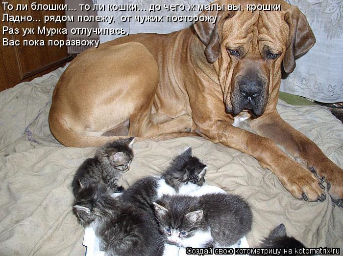 Котоматрица: То ли блошки... то ли кошки... до чего ж малы вы, крошки Ладно... рядом полежу,  от чужих посторожу Раз уж Мурка отлучилась, Вас пока поразвожу