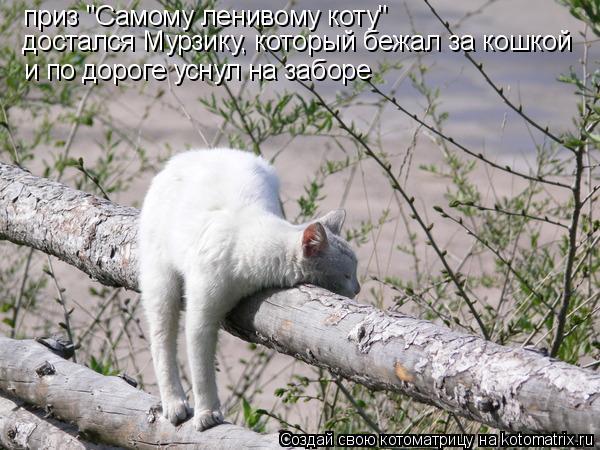 """Котоматрица: приз """"Самому ленивому коту"""" достался Мурзику, который бежал за кошкой и по дороге уснул на заборе"""