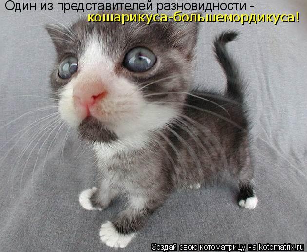 Котоматрица: Один из представителей разновидности -  кошарикуса-большемордикуса!
