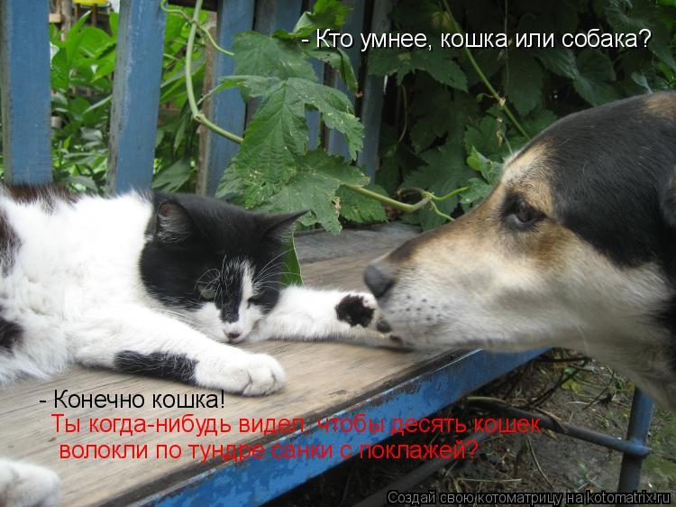 Котоматрица: - Кто умнее, кошка или собака?    - Конечно кошка!  Ты когда-нибудь видел, чтобы десять кошек  волокли по тундре санки с поклажей?