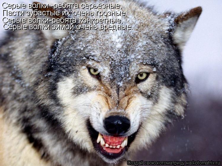 Котоматрица: Серые волки -ребята серьёзные, Пасти зубастые их очень грозные, Серые волки-ребята конкретные, Серые волки зимой очень вредные.