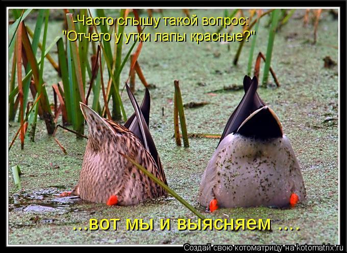 """Котоматрица: -Часто слышу такой вопрос:  """"Отчего у утки лапы красные?""""  ...вот мы и выясняем ...."""