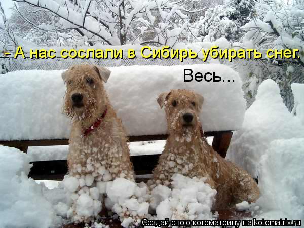Котоматрица: - А нас сослали в Сибирь убирать снег.  Весь...