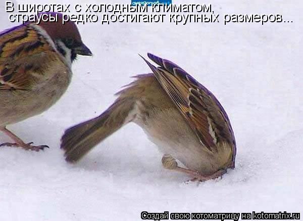 Котоматрица: В широтах с холодным климатом, страусы редко достигают крупных размеров...