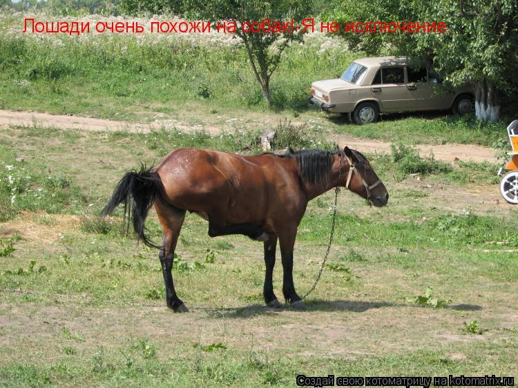 Котоматрица: Лошади очень похожи на собак!-Я не исключение.
