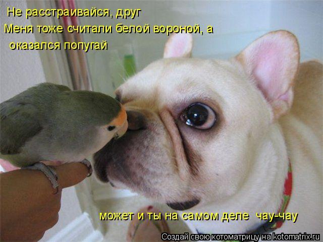 Котоматрица: Не расстраивайся, друг Меня тоже считали белой вороной, а   оказался попугай может и ты на самом деле  чау-чау