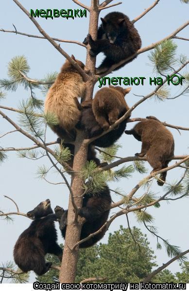 Котоматрица: медведки  улетают на Юг