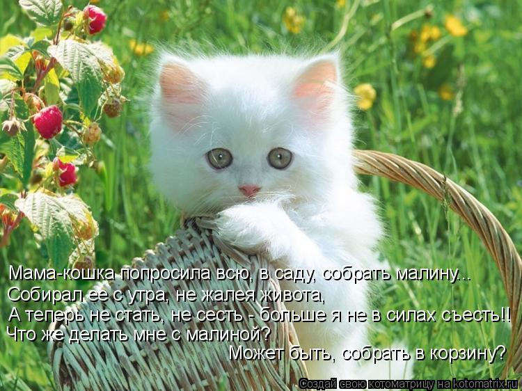 Котоматрица: Мама-кошка попросила всю, в саду, собрать малину... Собирал ее с утра, не жалея живота, А теперь не стать, не сесть - больше я не в силах съесть!!