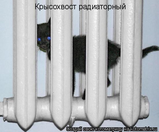 Котоматрица: Крысохвост радиаторный