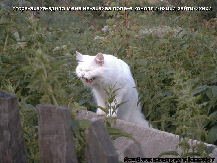 Котоматрица: Угора-ахаха-здило меня на-ахахаа поле-е конопли-ихихи зайти-ихихи