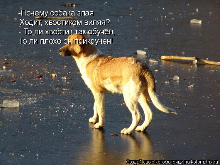 Котоматрица: -Почему собака злая Ходит, хвостиком виляя? - То ли хвостик так обучен, То ли плохо он прикручен!