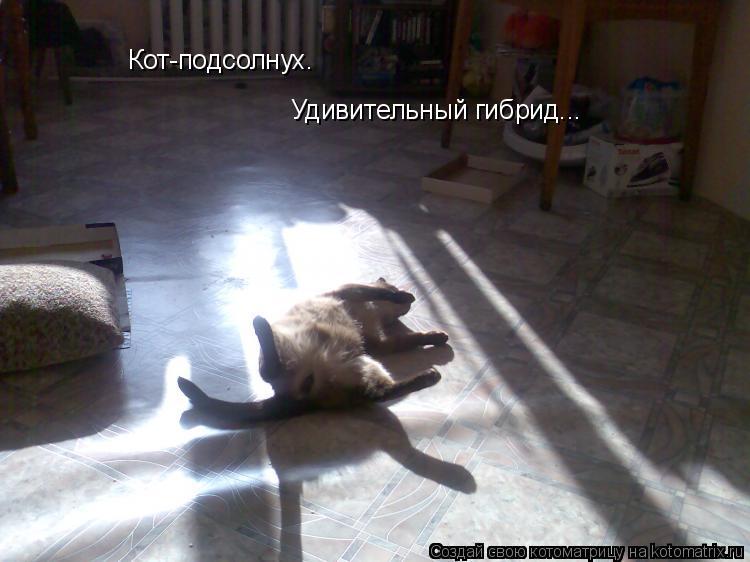 Котоматрица: Кот-подсолнух. Удивительный гибрид...